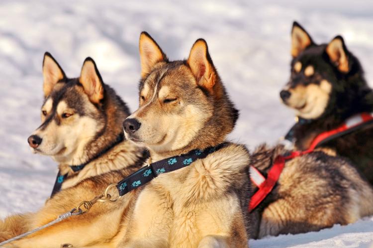 Three Huskies, Tambako the Jaguar
