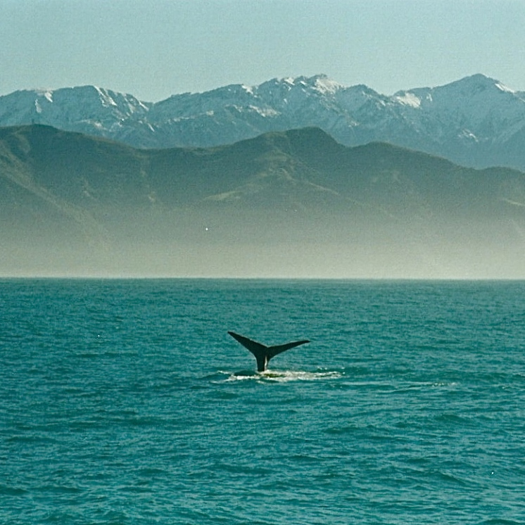 Whale watching, Kaikoura, New Zealand