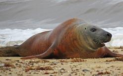 Norfolk seal, Martin Cooper