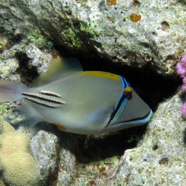 Picassofish (triggerfish), Derek Keats