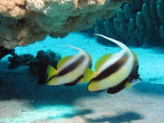 Red Sea bannerfish, Derek Keats